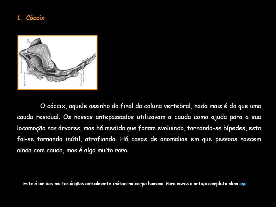 1. Cóccix O cóccix, aquele ossinho do final da coluna vertebral, nada mais é do que uma cauda residual. Os nossos antepassados utilizavam a cauda como