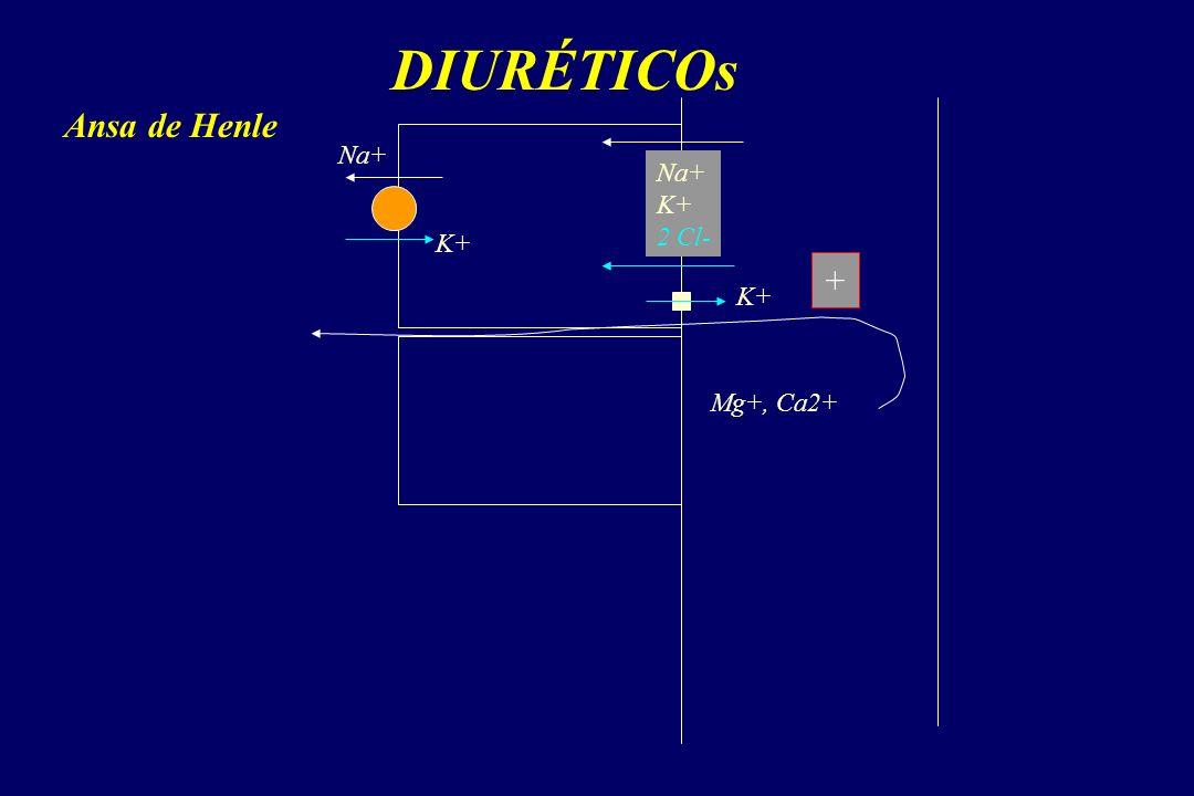 DIURÉTICOs Na+ K+ 2 Cl- Na+ K+ Mg+, Ca2+ Ansa de Henle +