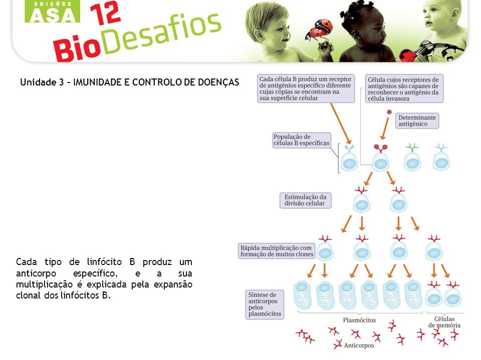 Cada tipo de linfócito B produz um anticorpo específico, e a sua multiplicação é explicada pela expansão clonal dos linfócitos B.