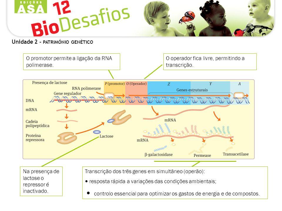 Unidade 2 - PATRIMÓNIO GENÉTICO Transcrição dos três genes em simultâneo (operão): resposta rápida a variações das condições ambientais; controlo esse