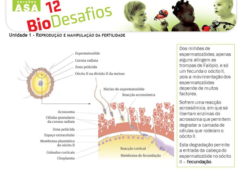 Unidade 1 - R EPRODUÇÃO E MANIPULAÇÃO DA FERTILIDADE Dos milhões de espermatozóides, apenas alguns atingem as trompas de Falópio, e só um fecunda o oócito II, pois a movimentação dos espermatozóides depende de muitos factores.