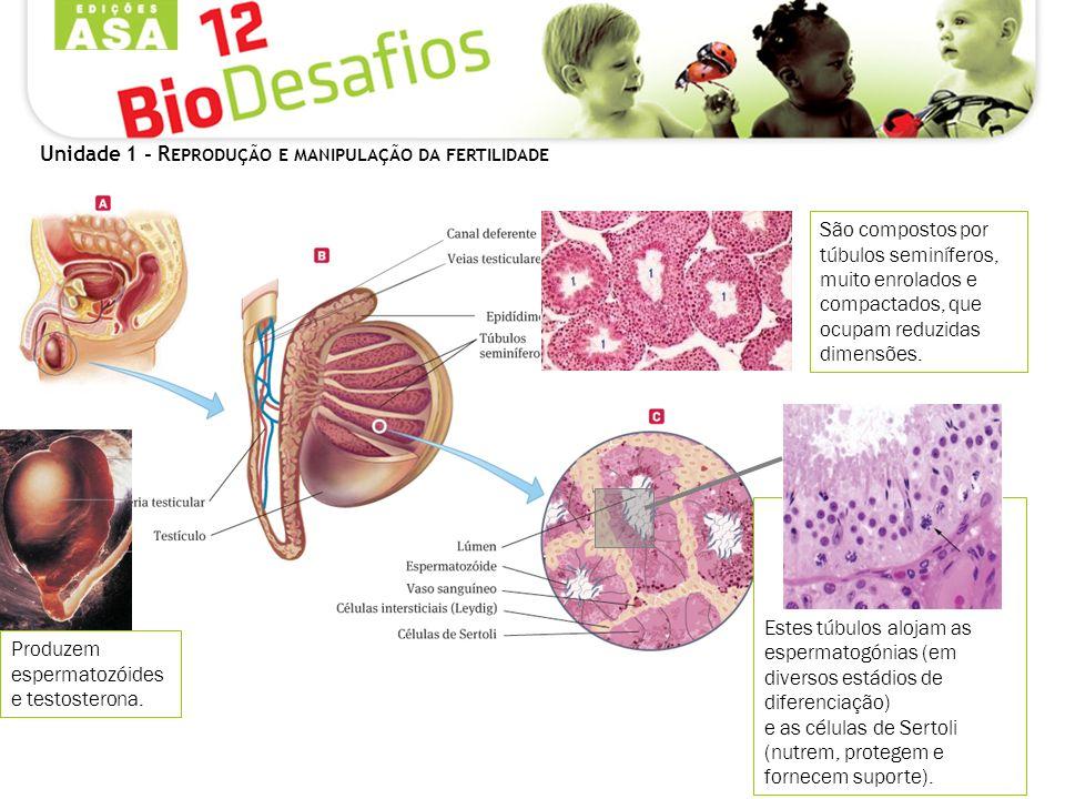 Unidade 1 - R EPRODUÇÃO E MANIPULAÇÃO DA FERTILIDADE Nos espaços intersticiais dos túbulos localizam-se as células de Leydig, responsáveis pela produção de testosterona.