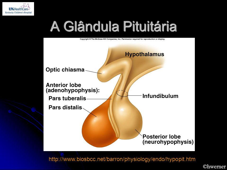 ©hwerner A Glândula Pituitária http://www.biosbcc.net/barron/physiology/endo/hypopit.htm
