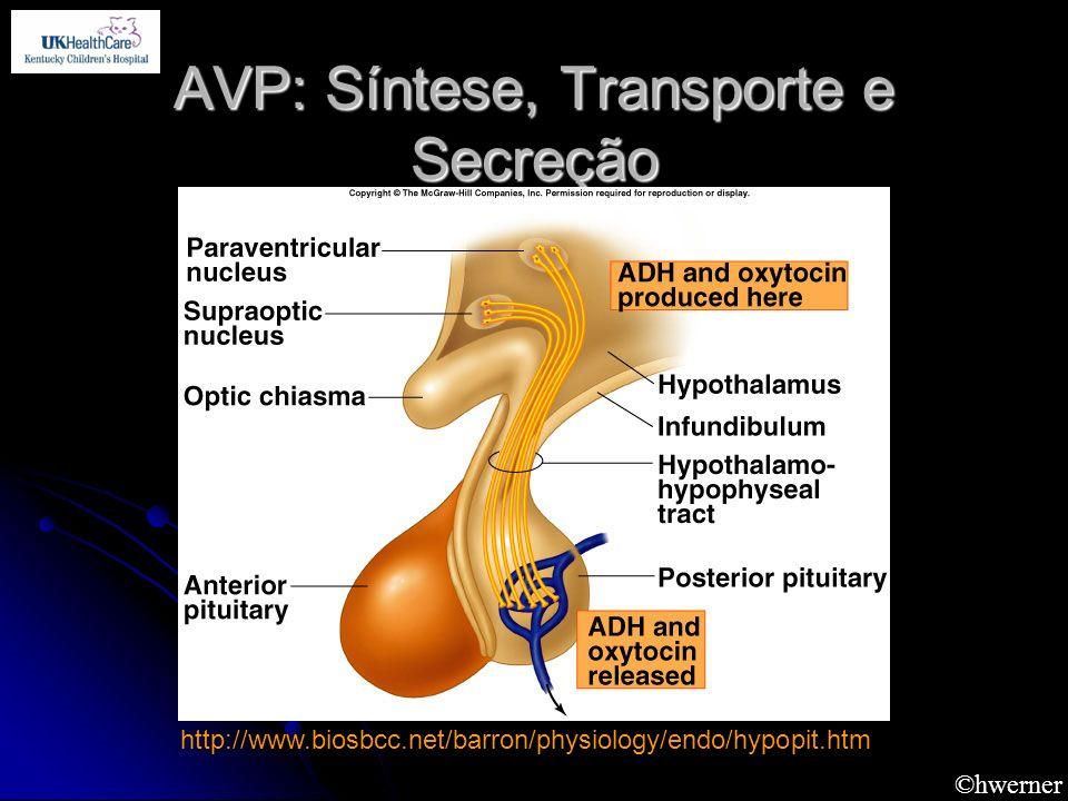 ©hwerner AVP: Síntese, Transporte e Secreção http://www.biosbcc.net/barron/physiology/endo/hypopit.htm