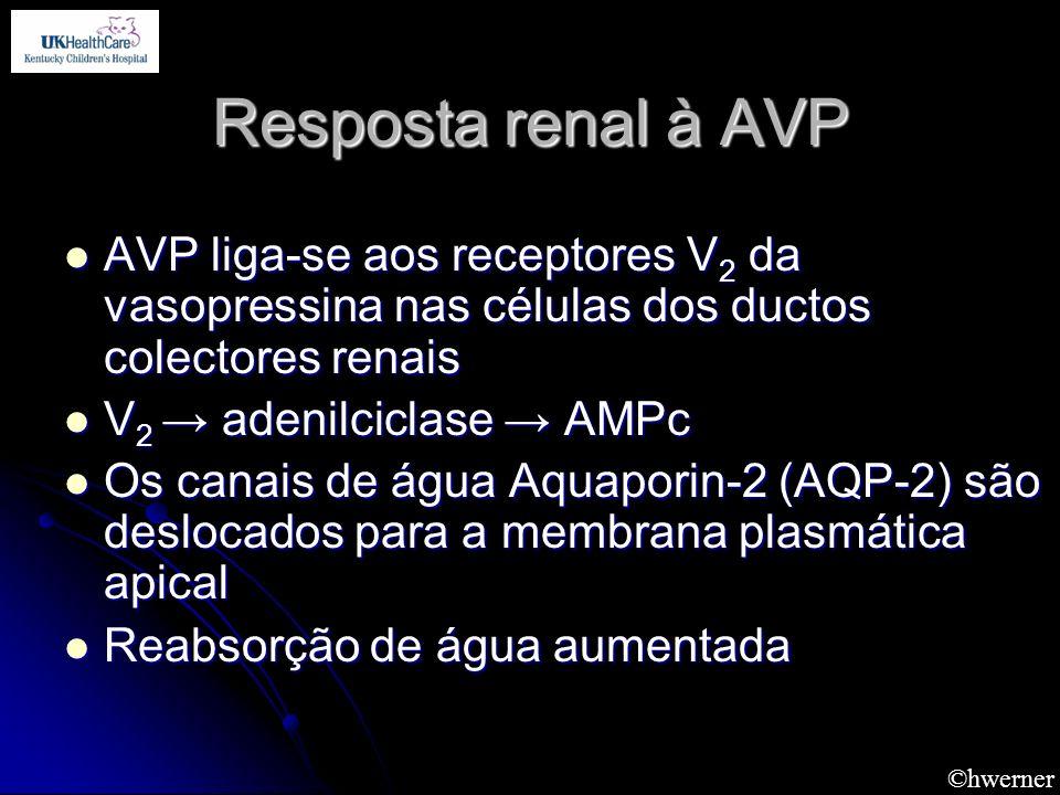 ©hwerner Resposta renal à AVP AVP liga-se aos receptores V 2 da vasopressina nas células dos ductos colectores renais AVP liga-se aos receptores V 2 d