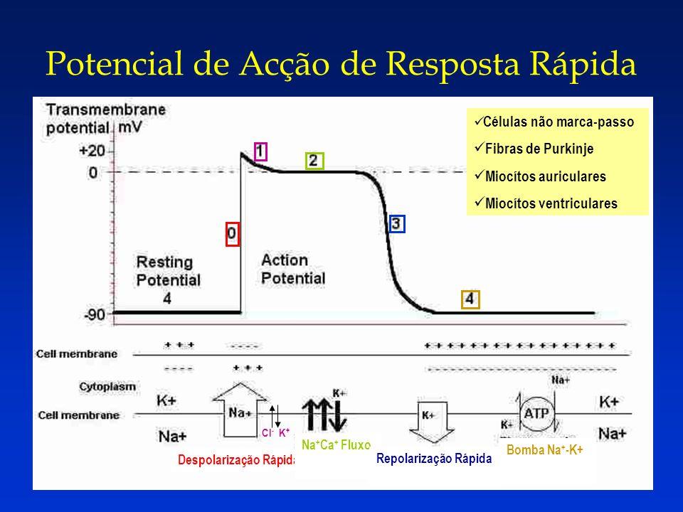 Potencial de Acção de Resposta Rápida Cl - K + Rapid Despolarização Rápida Na + Ca + Fluxo Bomba Na + -K+ Células não marca-passo Fibras de Purkinje M