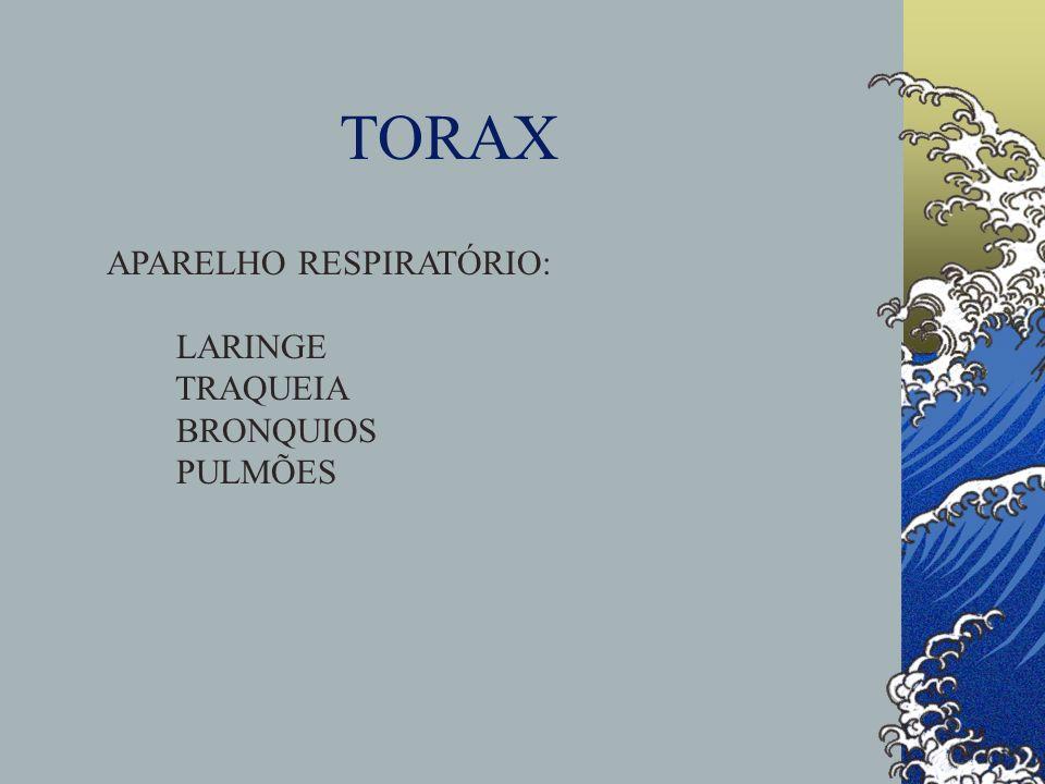 TORAX APARELHO RESPIRATÓRIO: LARINGE TRAQUEIA BRONQUIOS PULMÕES