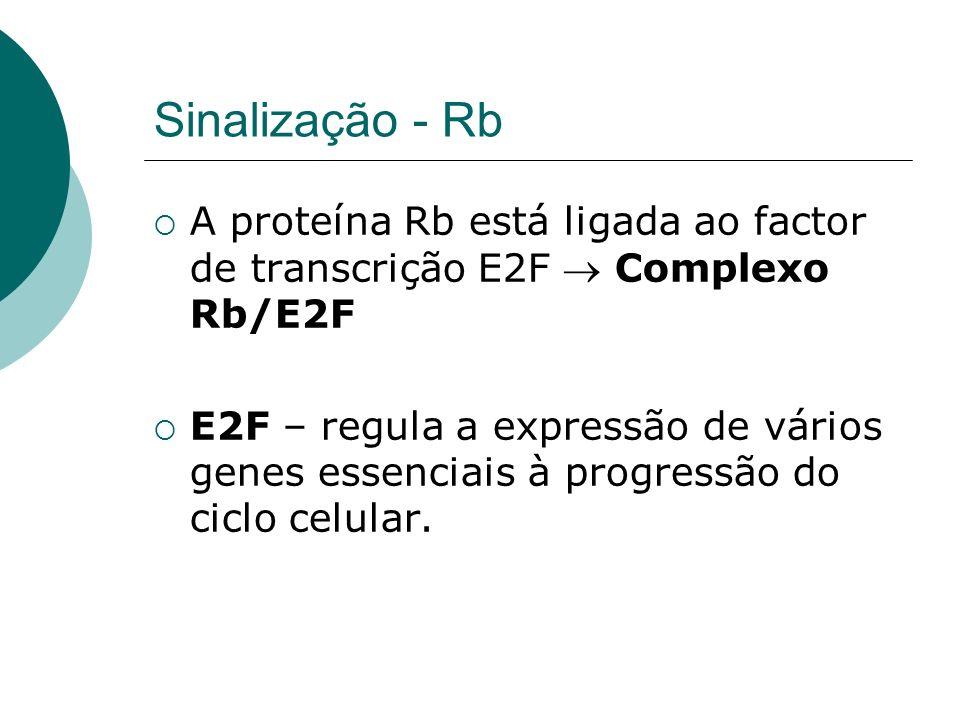 Sinalização - Rb A proteína Rb está ligada ao factor de transcrição E2F Complexo Rb/E2F E2F – regula a expressão de vários genes essenciais à progress