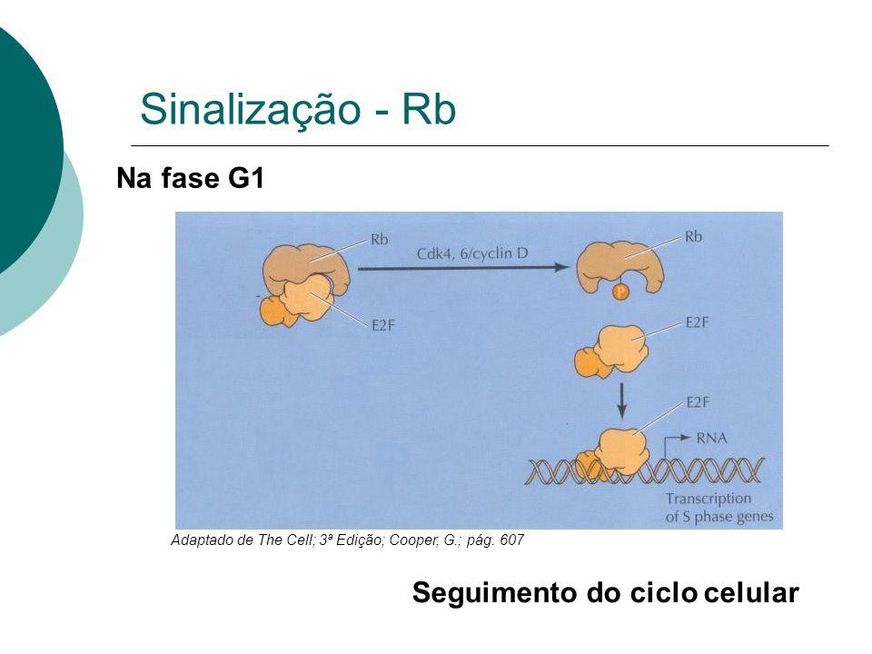 Sinalização - Rb Adaptado de The Cell; 3ª Edição; Cooper, G.; pág. 607 Na fase G1 Seguimento do ciclo celular