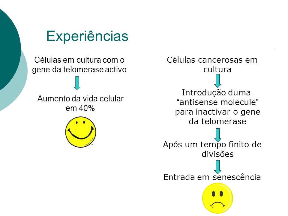 Experiências C é lulas cancerosas em cultura Introdu ç ão duma antisense molecule para inactivar o gene da telomerase Ap ó s um tempo finito de divisõ