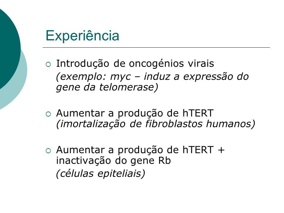 Experiência Introdução de oncogénios virais (exemplo: myc – induz a expressão do gene da telomerase) Aumentar a produção de hTERT (imortalização de fi