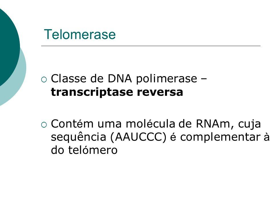 Telomerase Classe de DNA polimerase – transcriptase reversa Cont é m uma mol é cula de RNAm, cuja sequência (AAUCCC) é complementar à do tel ó mero