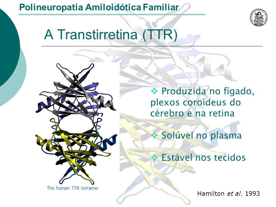 A Transtirretina (TTR) Polineuropatia Amiloidótica Familiar Produzida no fígado, plexos coroideus do cérebro e na retina Solúvel no plasma Estável nos tecidos The human TTR tetramer Hamilton et al.