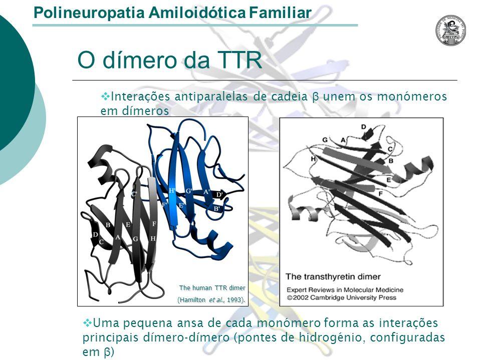 O dímero da TTR Polineuropatia Amiloidótica Familiar Interações antiparalelas de cadeia β unem os monómeros em dímeros Uma pequena ansa de cada monómero forma as interações principais dímero-dímero (pontes de hidrogénio, configuradas em β ) The human TTR dimer (Hamilton et al., 1993).