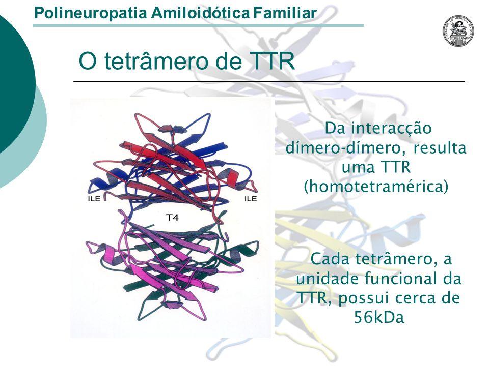 O tetrâmero de TTR Da interacção dímero-dímero, resulta uma TTR (homotetramérica) Polineuropatia Amiloidótica Familiar Cada tetrâmero, a unidade funcional da TTR, possui cerca de 56kDa