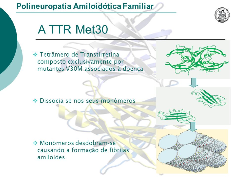 A TTR Met30 Polineuropatia Amiloidótica Familiar Tetrâmero de Transtirretina composto exclusivamente por mutantes V30M associados à doença Dissocia-se nos seus monómeros Monómeros desdobram-se causando a formação de fibrilas amilóides.