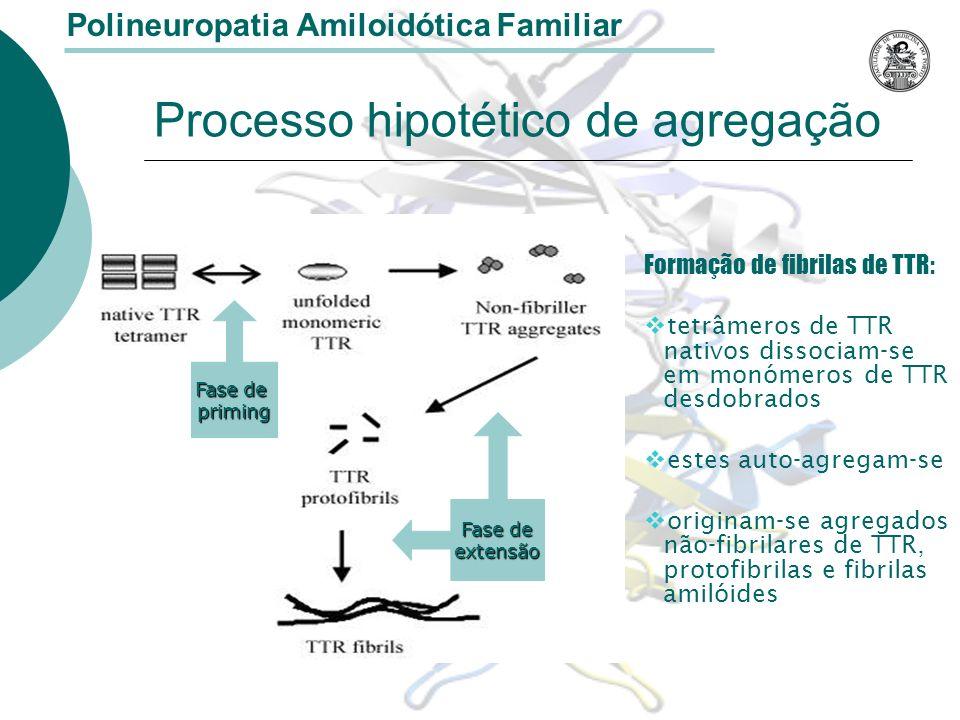 Processo hipotético de agregação Formação de fibrilas de TTR: tetrâmeros de TTR nativos dissociam-se em monómeros de TTR desdobrados estes auto-agregam-se originam-se agregados não-fibrilares de TTR, protofibrilas e fibrilas amilóides Polineuropatia Amiloidótica Familiar Fase de priming extensão