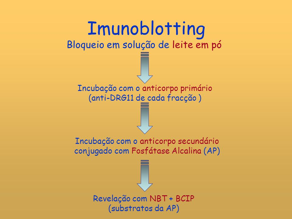 Imunoblotting Bloqueio em solução de leite em pó Incubação com o anticorpo primário (anti-DRG11 de cada fracção ) Incubação com o anticorpo secundário conjugado com Fosfátase Alcalina (AP) Revelação com NBT + BCIP (substratos da AP)