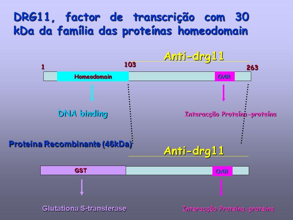 DRG11, factor de transcrição com 30 kDa da família das proteínas homeodomain 1263 Homeodomain DNA binding OAR Interacção Proteína-proteína Anti-drg11 OAR Anti-drg11 Glutationa S-transferase GST Proteína Recombinante (46kDa) 103