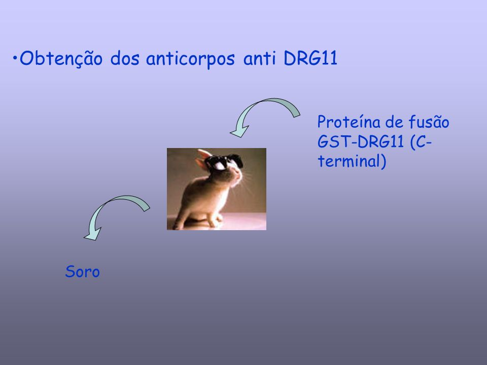 Purificação e caracterização do anticorpo: Soro Purificação dos anticorpos por Cromatografia de Afinidade Doseamento de IgG anti- DRG11 Imunoblotting Imunofluorescência