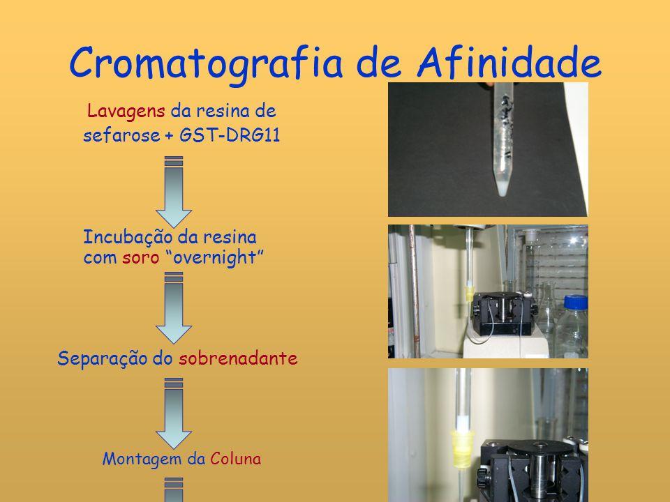 Cromatografia de Afinidade Eluição por adição de solução de Glicina a pH 2,3 Recolha de 10 amostras com bomba peristáltica Neutralização com Tris a pH 8,5