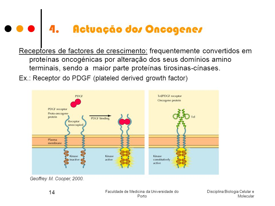 Disciplina Biologia Celular e Molecular Faculdade de Medicina da Universidade do Porto 14 4.Actuação dos Oncogenes Receptores de factores de crescimen
