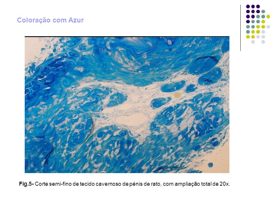 Coloração com Azur Fig.5- Corte semi-fino de tecido cavernoso de pénis de rato, com ampliação total de 20x.