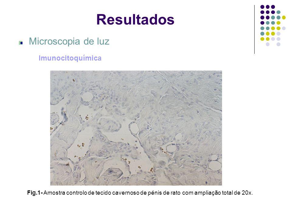 Fig.2- Amostra de tecido cavernoso de pénis de rato adulto normal, com ampliação total de 20x.