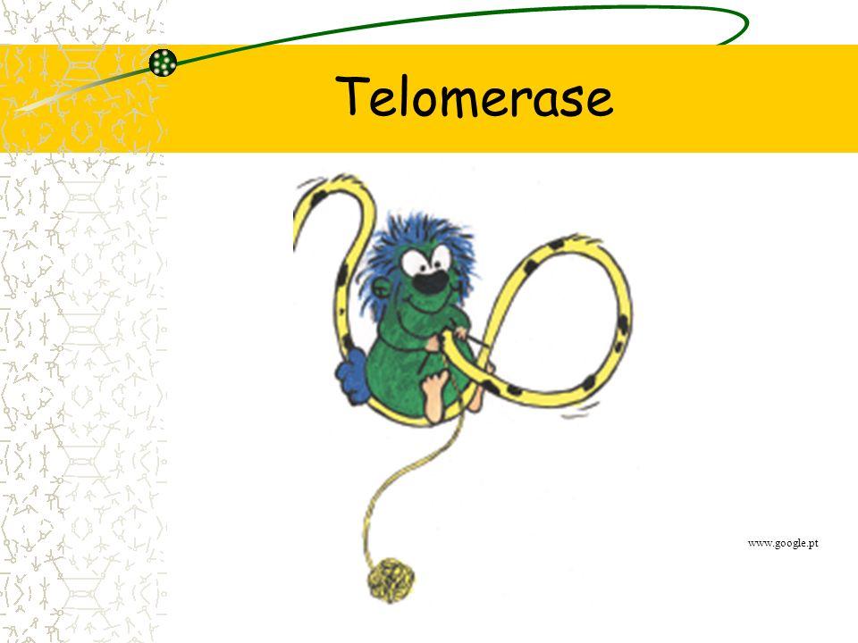 Replicação de DNA Último fragmento de Okazaki não replicado; Encurtamento dos telómeros Ken Miller, 1998