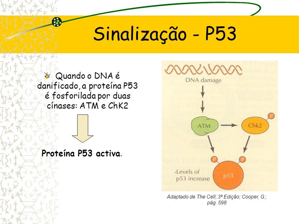 Morte Celular Programada Encurtamento dos telomeros Tamanho crítico ALARME (Sinalização pela P53) Senescência e Apoptose Telómeros mecanismo de Relógi