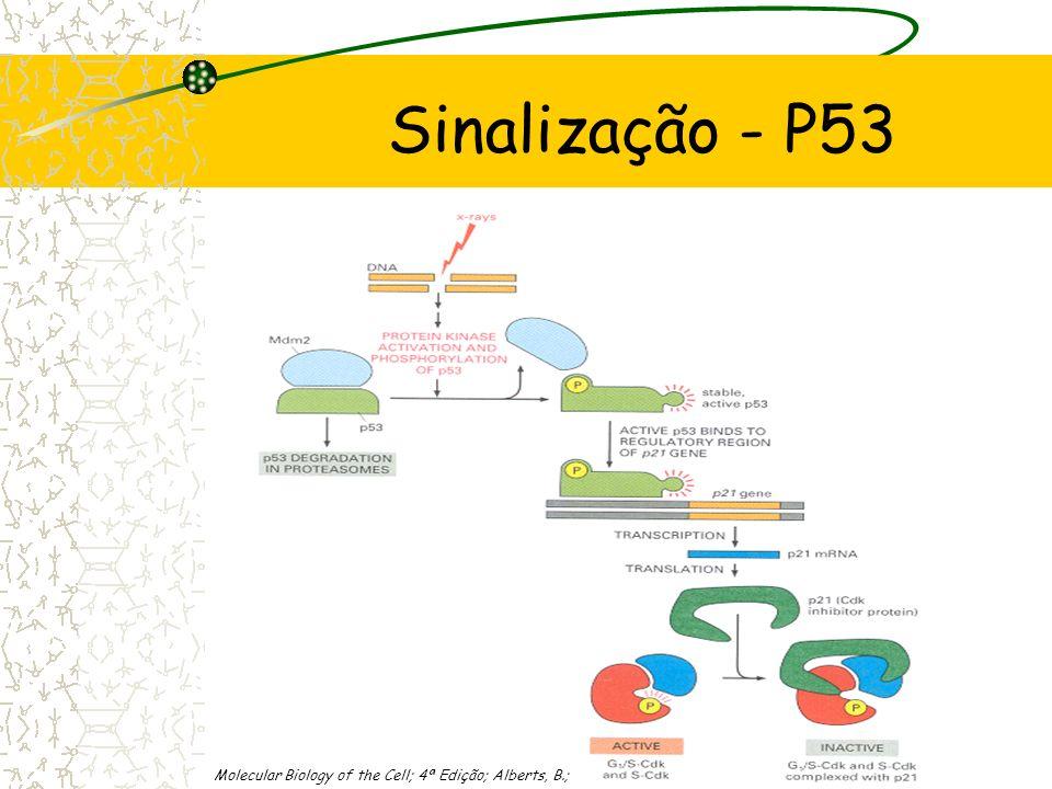 Sinalização - P53 Quando o DNA é danificado, a proteína P53 é fosforilada por duas cínases: ATM e ChK2 Proteína P53 activa. Adaptado de The Cell; 3ª E