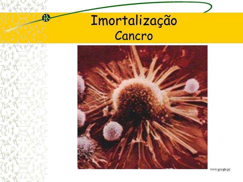 Imortalização Telomerase (falta ou mutação da proteína p53) Cancro Imortalidade (células somáticas)
