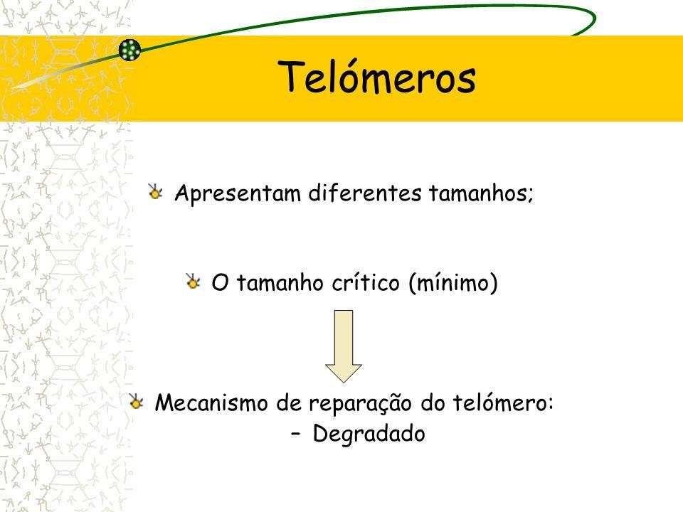 Telómero Arranjo específico Depende de: -Repetições das sequências simples de DNA; -Presença da TRF 2 que se liga ao sítio de formação do loop; The Ce