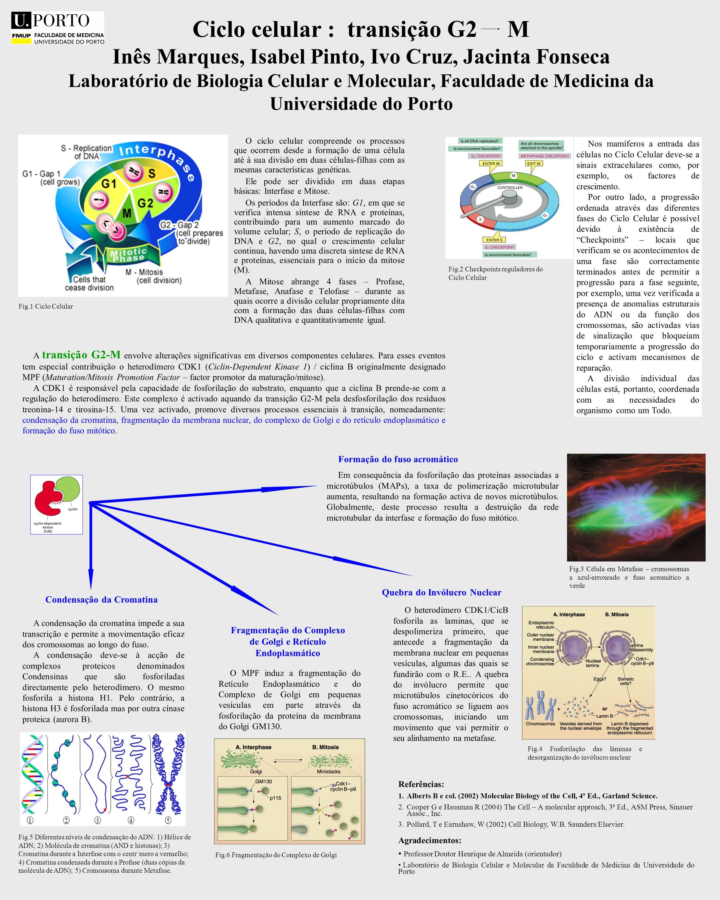 Nos mamíferos a entrada das células no Ciclo Celular deve-se a sinais extracelulares como, por exemplo, os factores de crescimento. Por outro lado, a