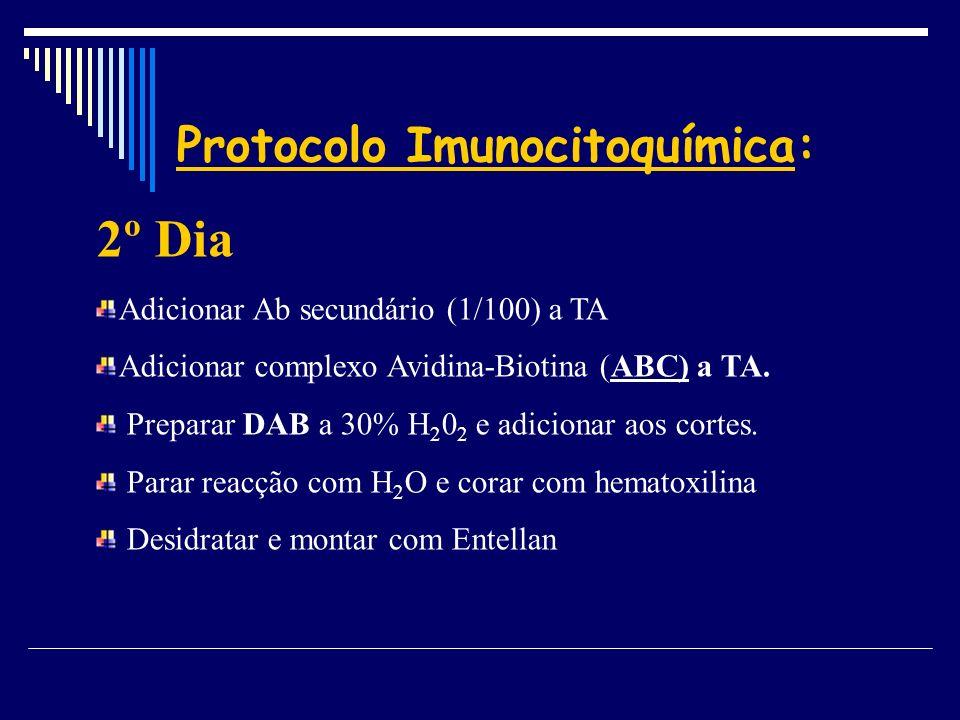 Protocolo Imunocitoquímica: 2º Dia Adicionar Ab secundário (1/100) a TA Adicionar complexo Avidina-Biotina (ABC) a TA. Preparar DAB a 30% H 2 0 2 e ad