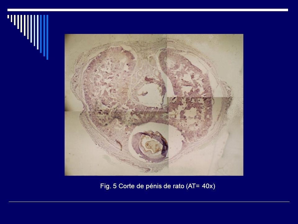 Fig. 5 Corte de pénis de rato (AT= 40x)
