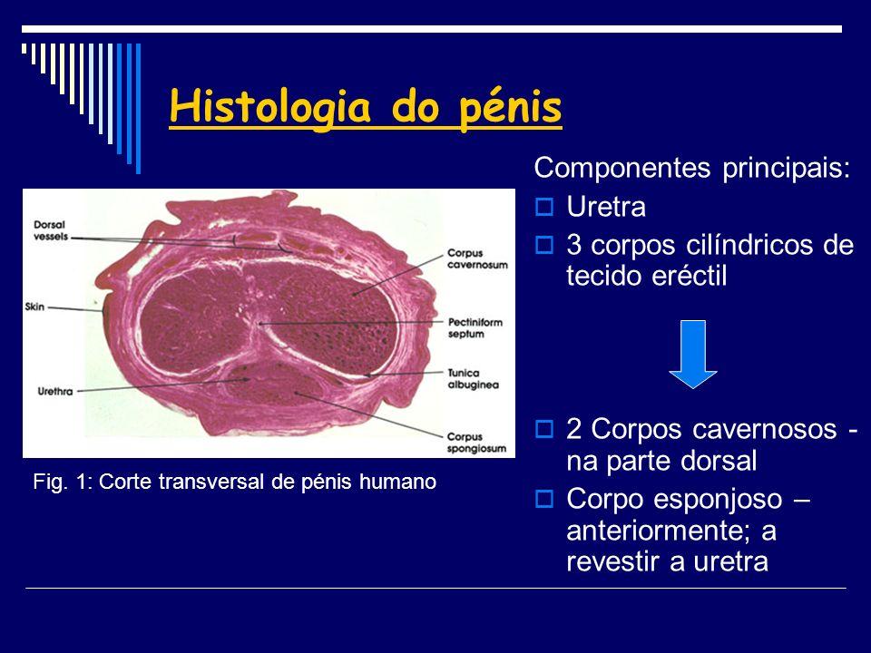 Histologia do pénis Componentes principais: Uretra 3 corpos cilíndricos de tecido eréctil 2 Corpos cavernosos - na parte dorsal Corpo esponjoso – ante