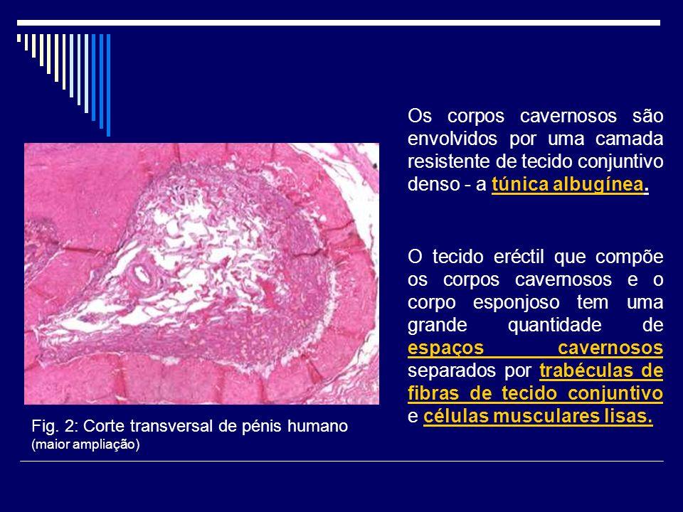Discussão dos resultados Os corpos cavernosos apresentam marcação preferencial no tecido conjuntivo (sem definição específica).