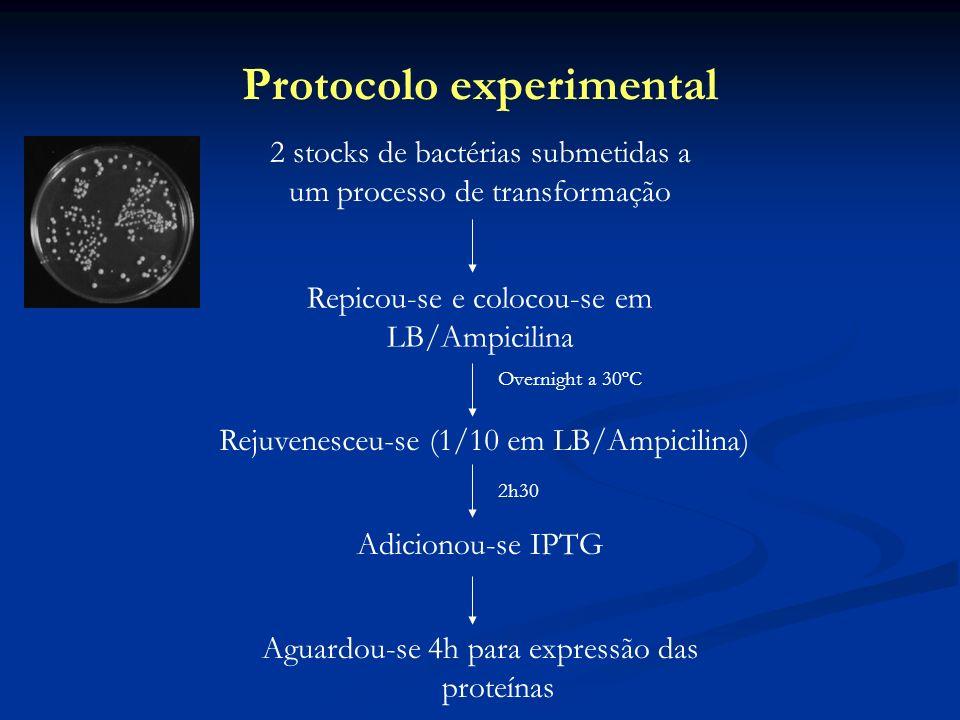 Protocolo experimental 2 stocks de bactérias submetidas a um processo de transformação Repicou-se e colocou-se em LB/Ampicilina Rejuvenesceu-se (1/10