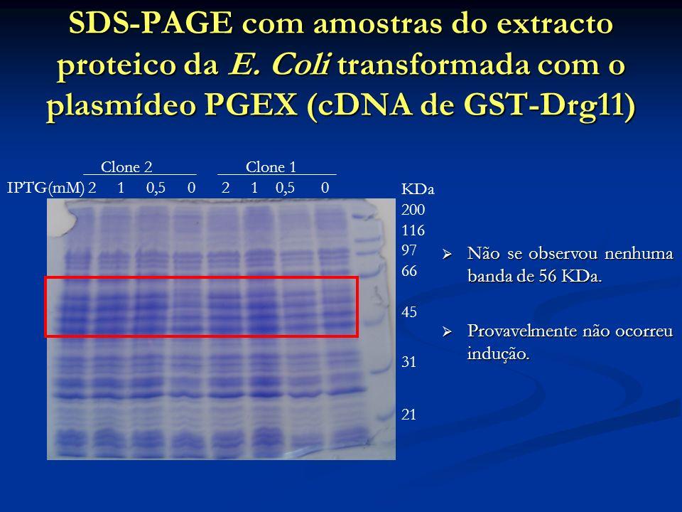 SDS-PAGE com amostras do extracto proteico da E. Coli transformada com o plasmídeo PGEX (cDNA de GST-Drg11) Não se observou nenhuma banda de 56 KDa. N