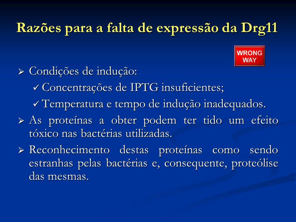 Razões para a falta de expressão da Drg11 Condições de indução: Condições de indução: Concentrações de IPTG insuficientes; Concentrações de IPTG insuf
