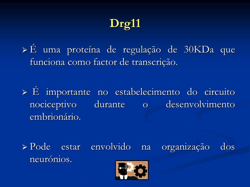 Drg11 É uma proteína de regulação de 30KDa que funciona como factor de transcrição. É uma proteína de regulação de 30KDa que funciona como factor de t