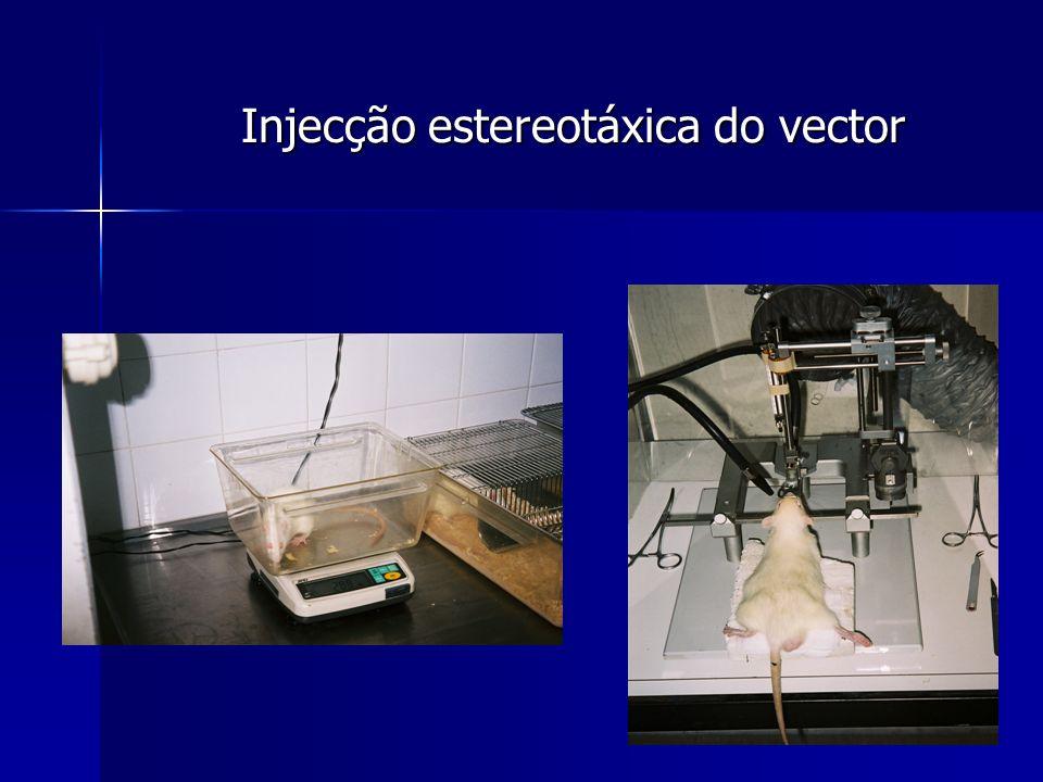 Injecção estereotáxica do vector