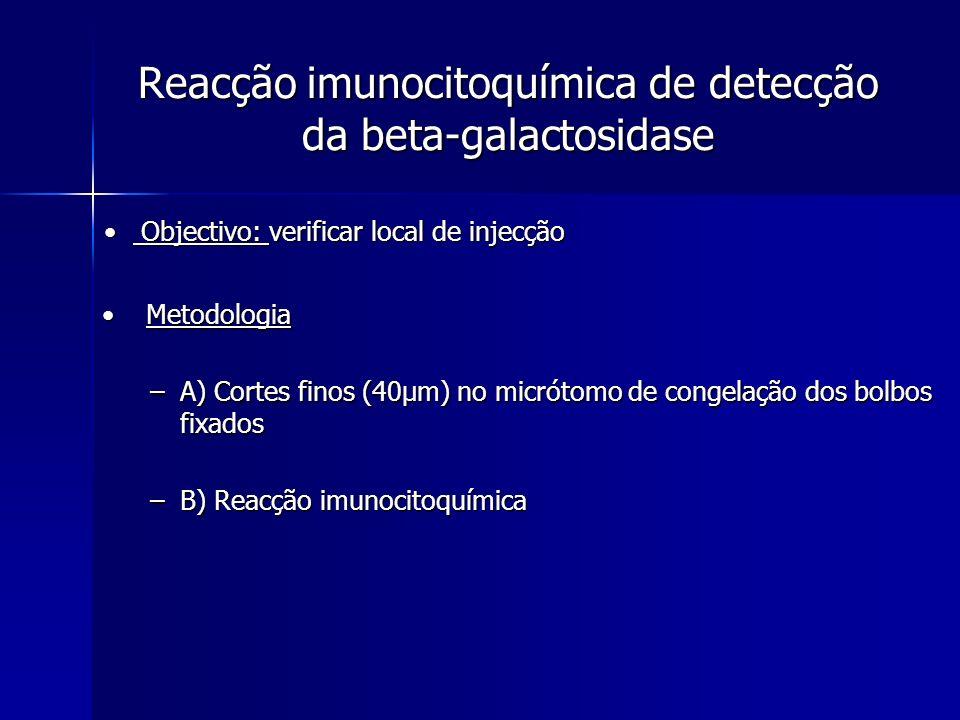 Reacção imunocitoquímica de detecção da beta-galactosidase Metodologia Metodologia –A) Cortes finos (40µm) no micrótomo de congelação dos bolbos fixad