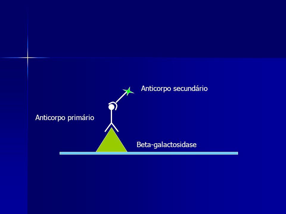 Beta-galactosidase Anticorpo secundário Anticorpo primário