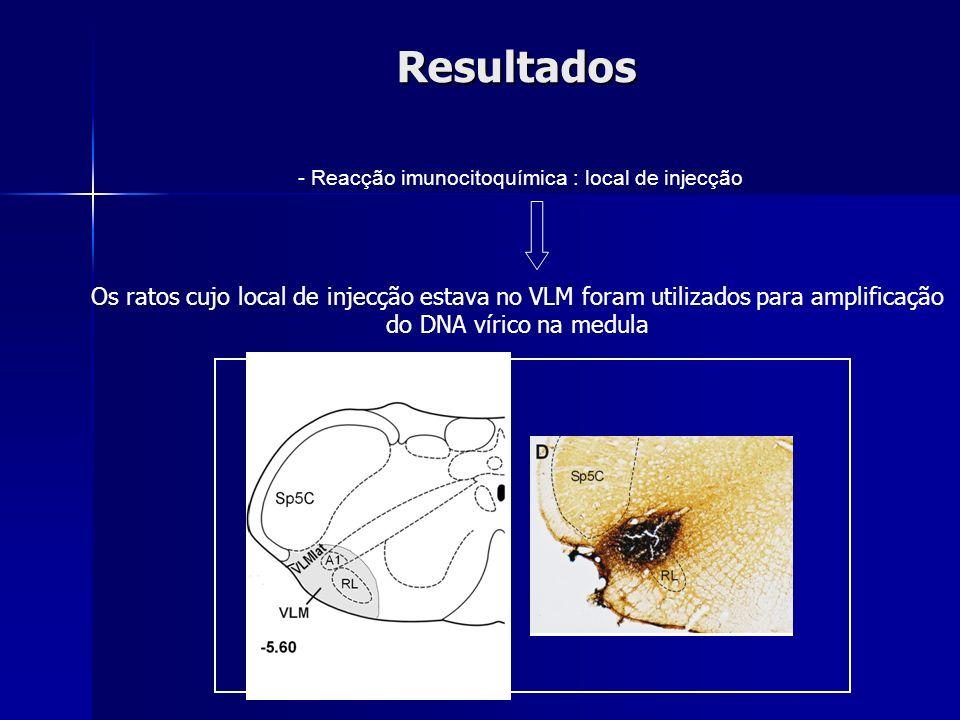 Resultados - Reacção imunocitoquímica : local de injecção Os ratos cujo local de injecção estava no VLM foram utilizados para amplificação do DNA víri