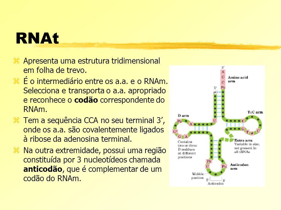 RNAt zApresenta uma estrutura tridimensional em folha de trevo. zÉ o intermediário entre os a.a. e o RNAm. Selecciona e transporta o a.a. apropriado e