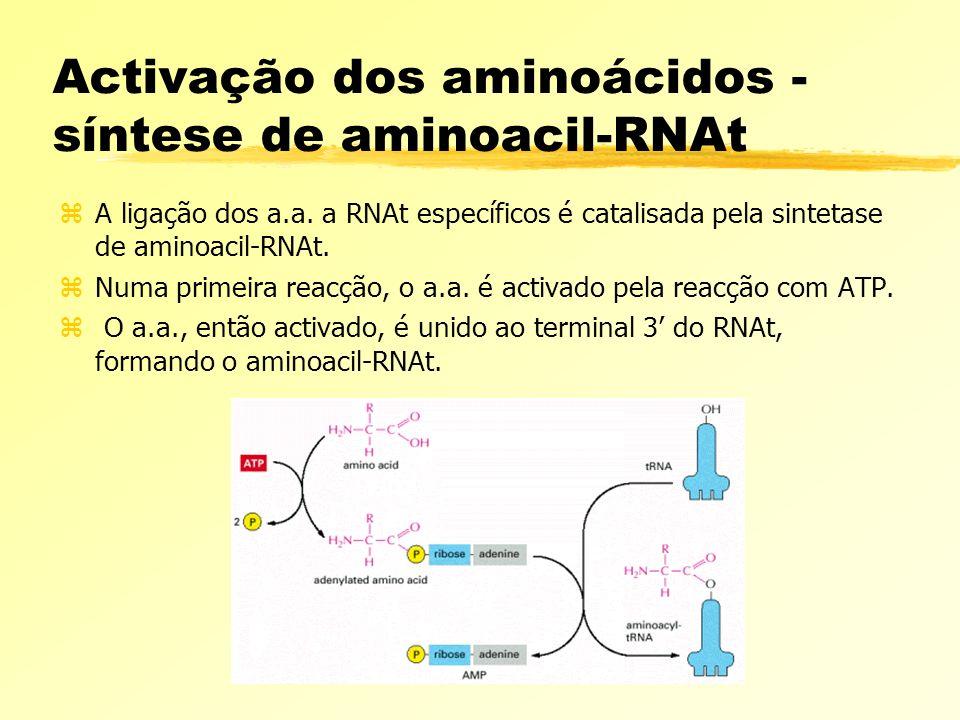 Activação dos aminoácidos - síntese de aminoacil-RNAt zA ligação dos a.a. a RNAt específicos é catalisada pela sintetase de aminoacil-RNAt. zNuma prim
