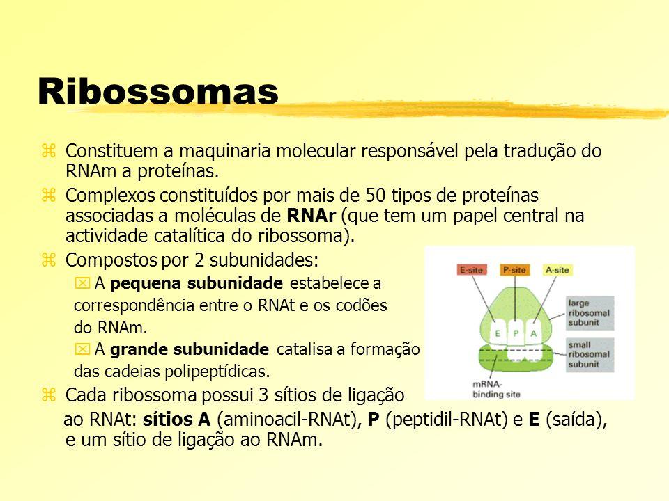 Ribossomas zConstituem a maquinaria molecular responsável pela tradução do RNAm a proteínas. zComplexos constituídos por mais de 50 tipos de proteínas