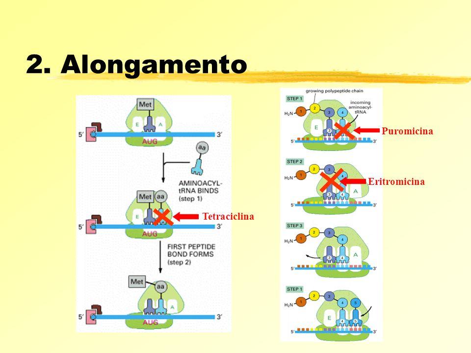 2. Alongamento Tetraciclina Puromicina Eritromicina